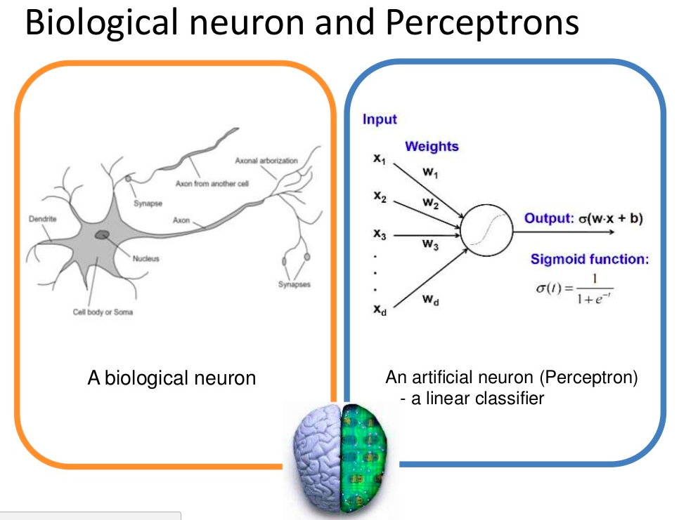 Biological Neurons and Perceptrons